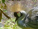 A Grey crowned crane at Pana'ewa Rainforest Zoo & Gardens in Hilo.