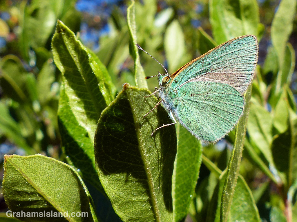 An endemic Hawaiian blue butterfly at the Palila Forest Discovery Trail