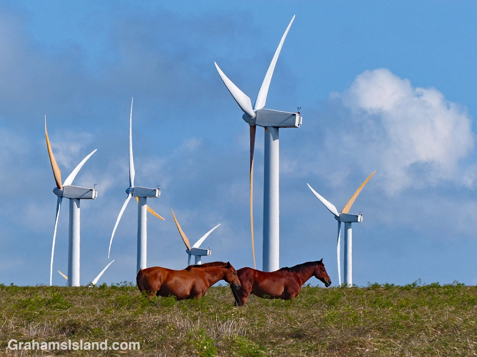 This pair of horses stood motionless for a long time while the turbines of Hawi Wind Farm whirled in the background.