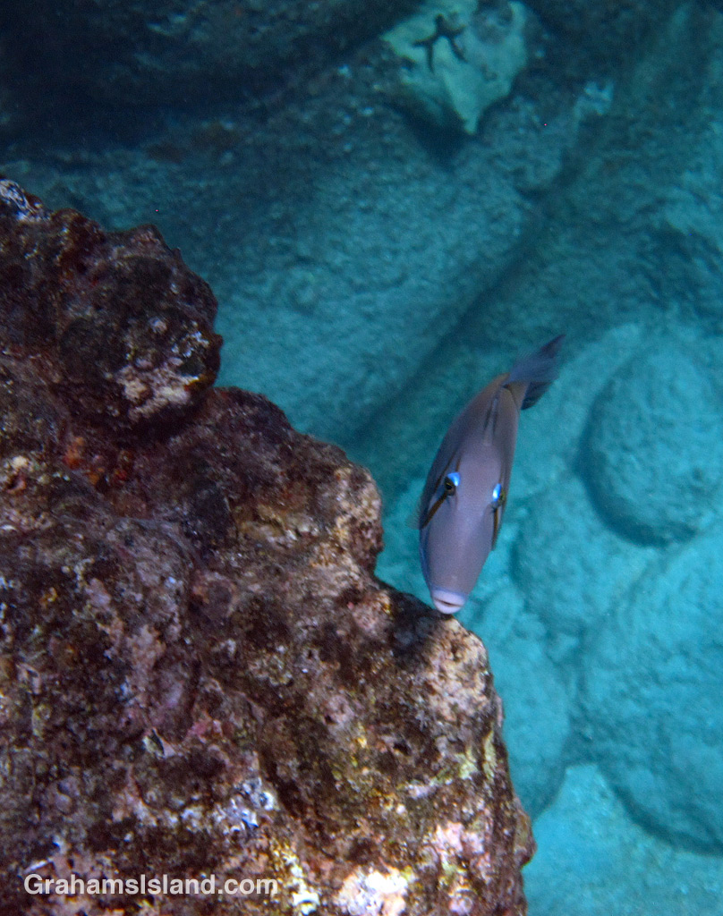 Lei triggerfish are quite common in Big Island waters.