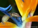 A mourning gecko drinks at a bird of paradise flower.