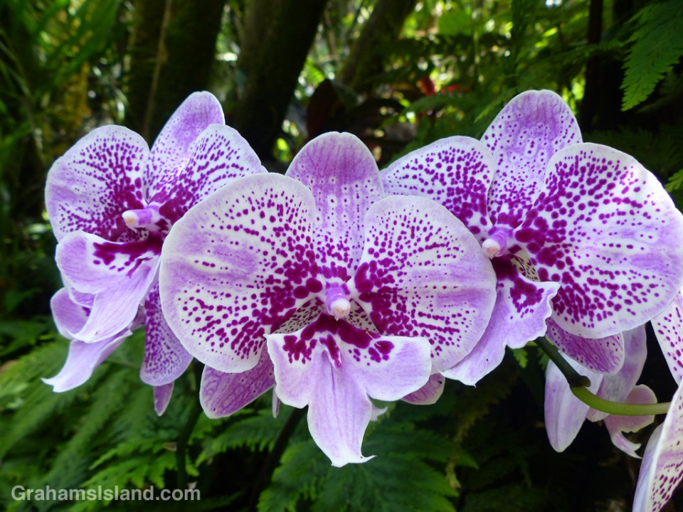This Phalaenopsis Yu Pin Star Dancer Orchid shows the unique structure of orchid flowers.