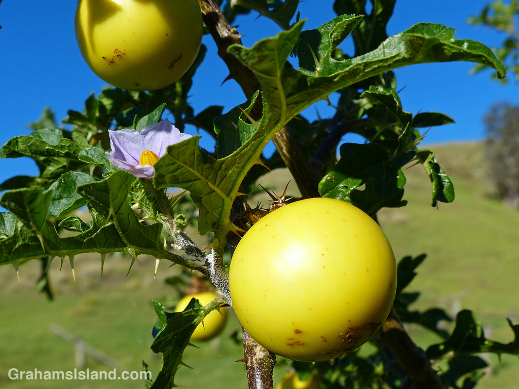 Solanum linnaeanum or Apple of Sodom