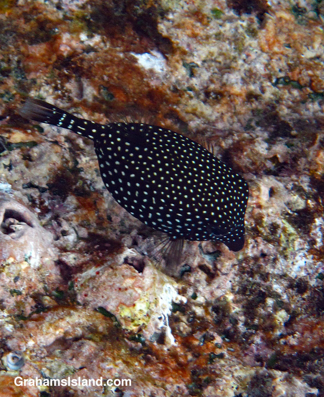 A female spotted boxfish in the water off the Big Island of Hawaii.