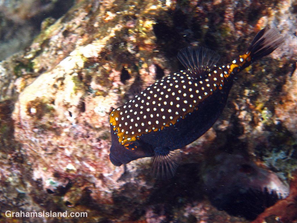 A male spotted boxfish in the water off the Big Island of Hawaii.