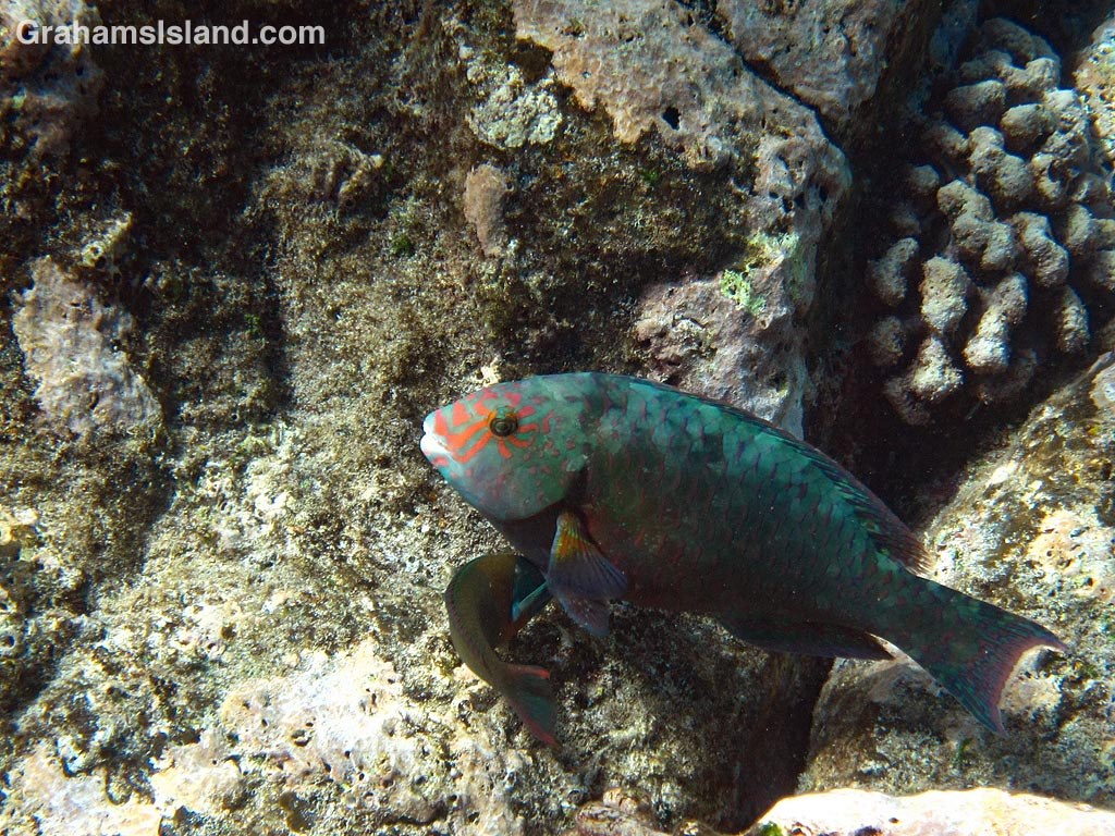 A stareye parrotfish in the waters off the Big Island of Hawaii.