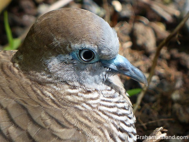 The plumage of birds at rest often has a wonderful layered look to it. This zebra dove is no exception.