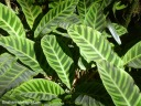 There are several plants known as zebra plant, all with strongly patterned foliage. This one is Calathea zebrina var. humilior,
