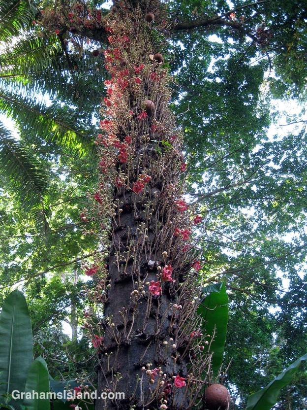 The cannonball tree (Couroupita guianensis) is pretty distinctive.