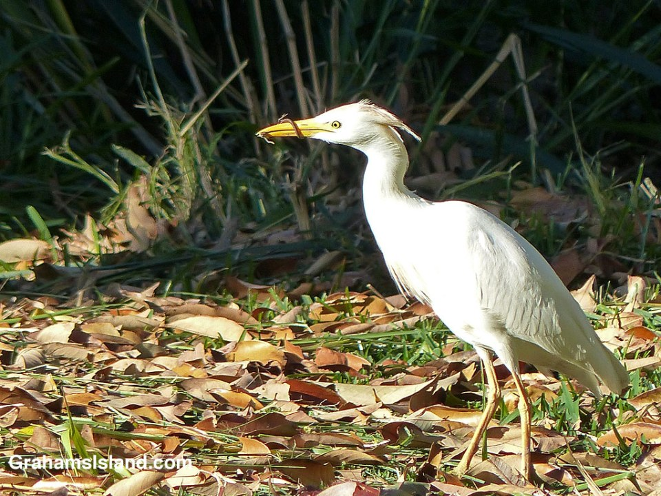 A cattle egret wrestles with a green anole.