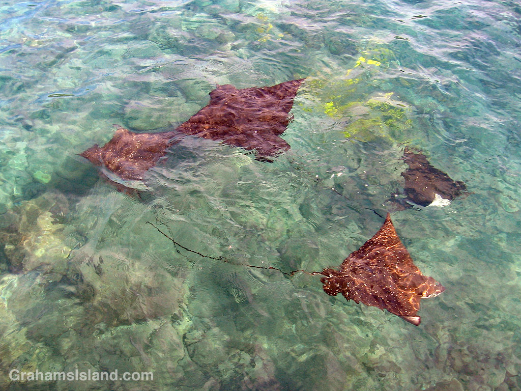 Four spotted eagle rays in the waters off the Big Island of Hawaii