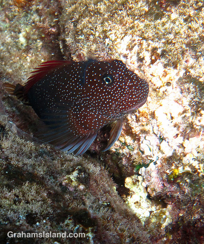 A Gargantuan Blenny rests between rocks.
