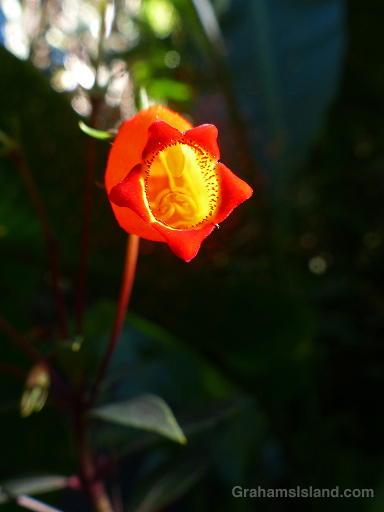 Gloxinia sylvatica 'Bolivian Sunset' at Hawaii Tropical Botanical Garden