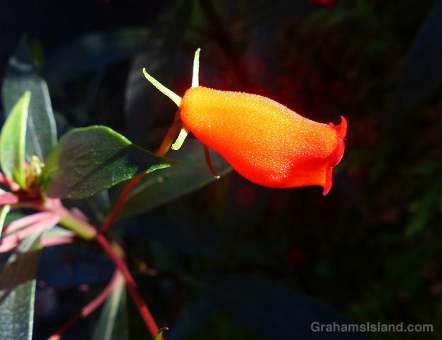 Gloxinia sylvatica 'Bolivian Sunset' at Hawaii Tropical Botanical Garden