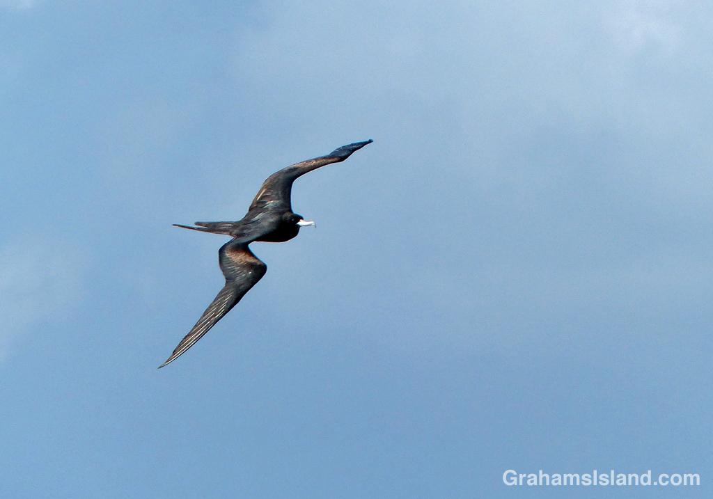 A great frigatebird flies along the North Kohala Coast.