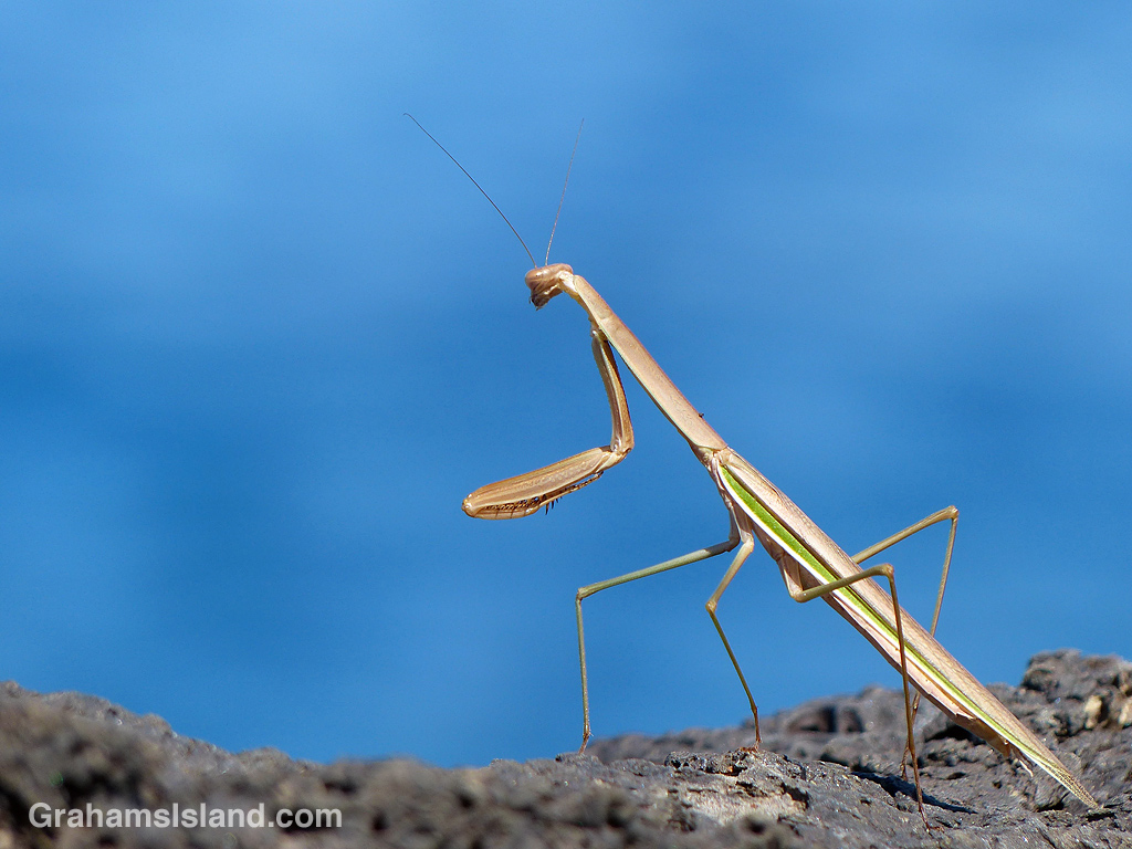 A praying mantis on the Big Island of Hawaii