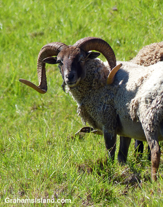A curly horned ram looks around.