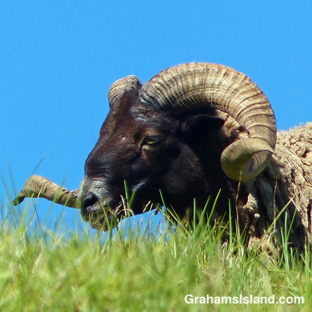 A curly horned ram in profile.