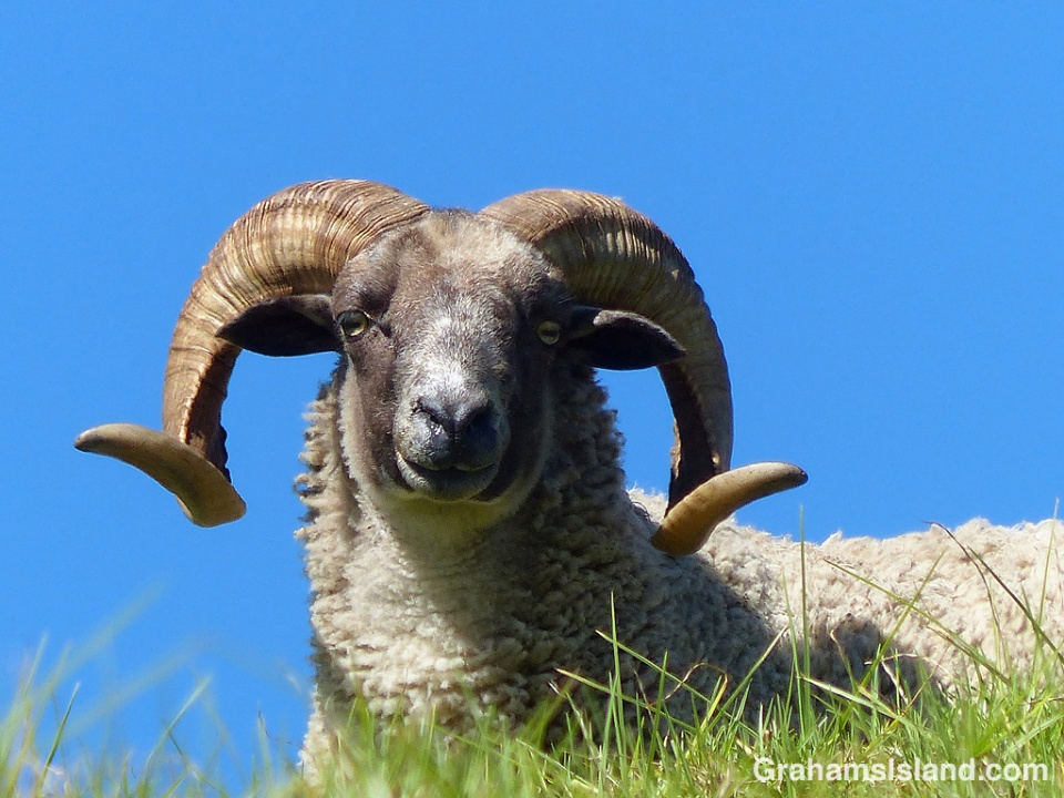 A curly horned ram keeps watch.