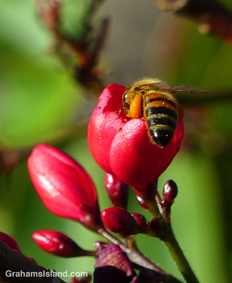 A bee forages on a Rose Jatropha flower on the Big Island of Hawaii