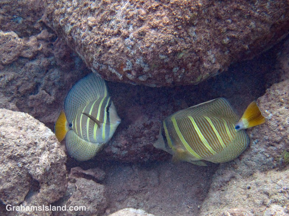 A pair of sailfin tang in the waters off the Big Island of Hawaii.