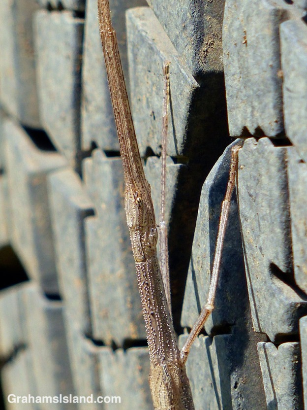 A stick Insect rests on a truck tire