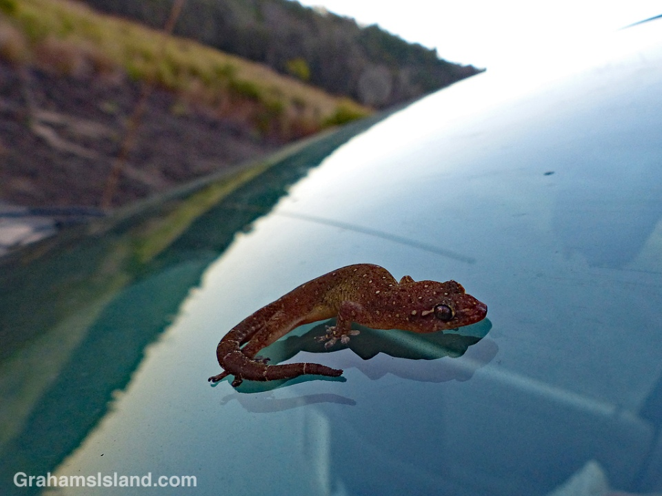 A Stump-toed gecko on a truck windshield.