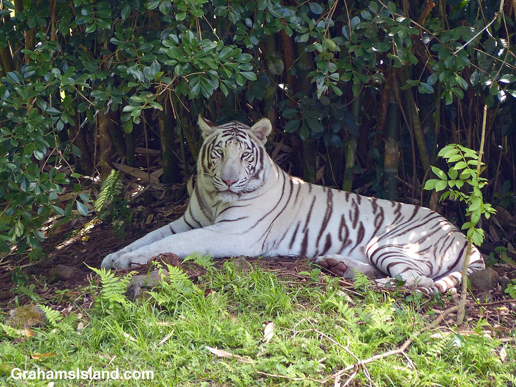 White Bengal tiger, Tzatziki, rests in the shade