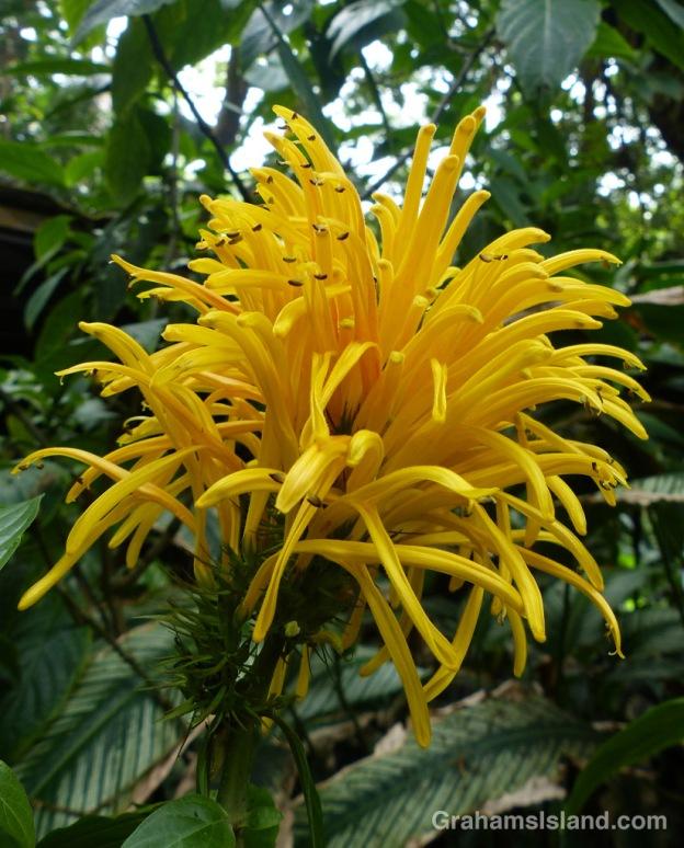 A yellow plume flower (Justicia aurea) at the Hawaii Tropical Botanical Garden.