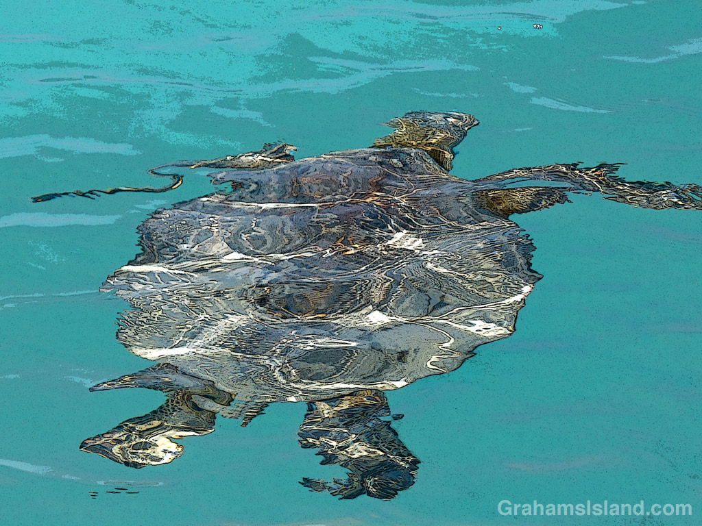 A Hawaiian green sea turtle swims in the waters off the Big Island of Hawaii