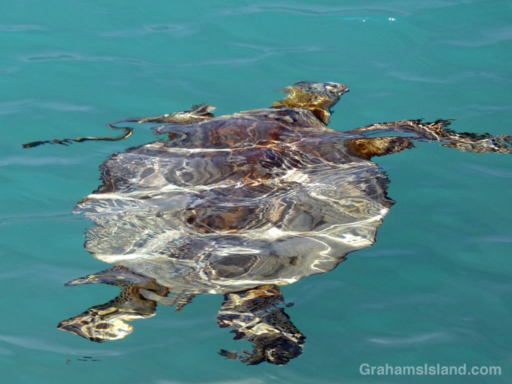 A green turtle takes on a different appearance as it swims through the waters of Kiholo Bay.