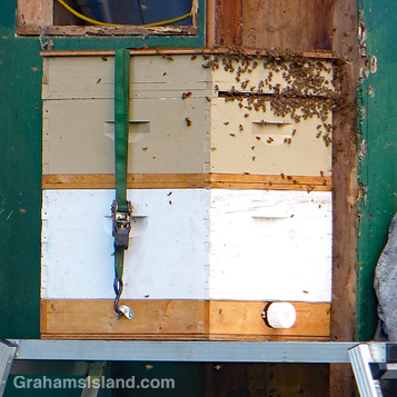 A swarm of bees is removed from a wall and settled in a new hive