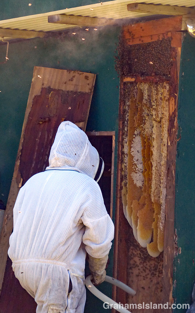 A beekeeper removes a swarm of bees nesting in a wall