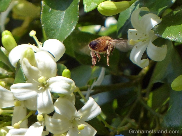 A bee approaches a mock orange flower.