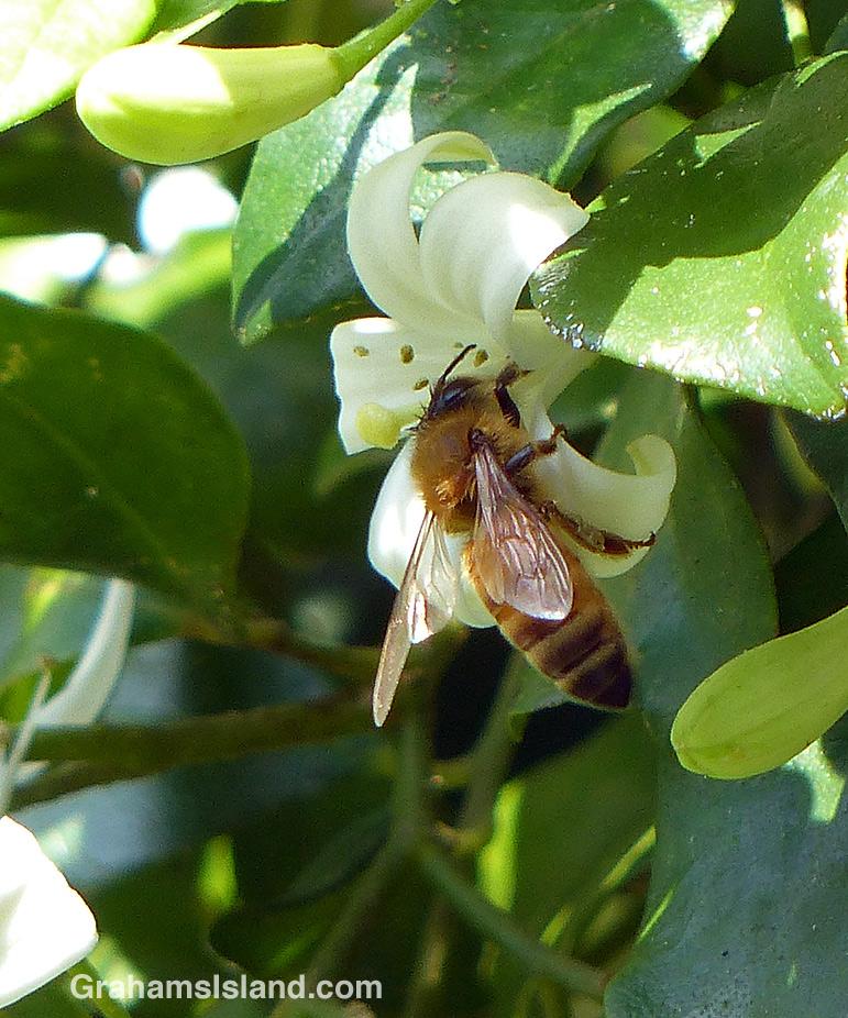 A bee on a mock orange flower.