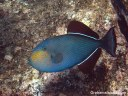 A black triggerfish showing colors when it is agitated or aroused