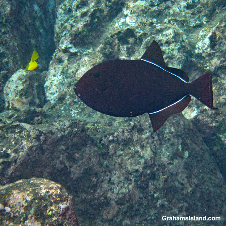 A black triggerfish with normal coloration