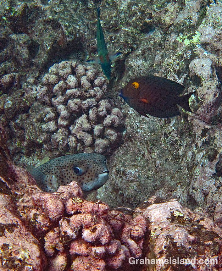 A giant porcupinefish peeks out from behind a rock