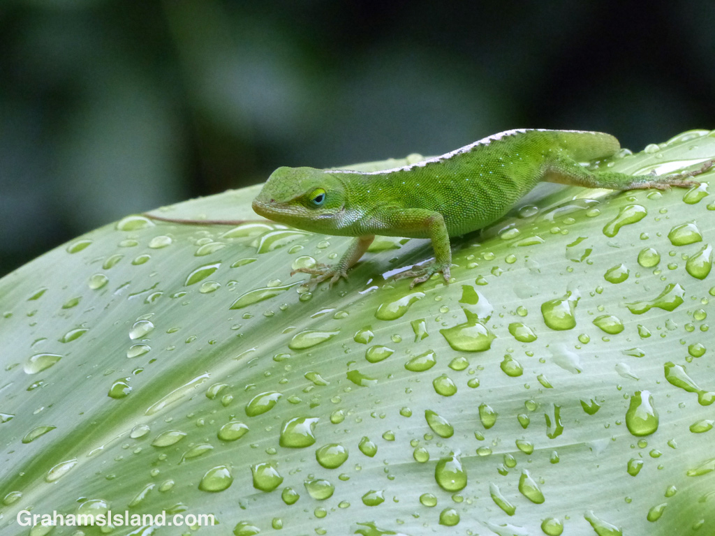 A green anole surveys the scene from a raindrop covered ti leaf.