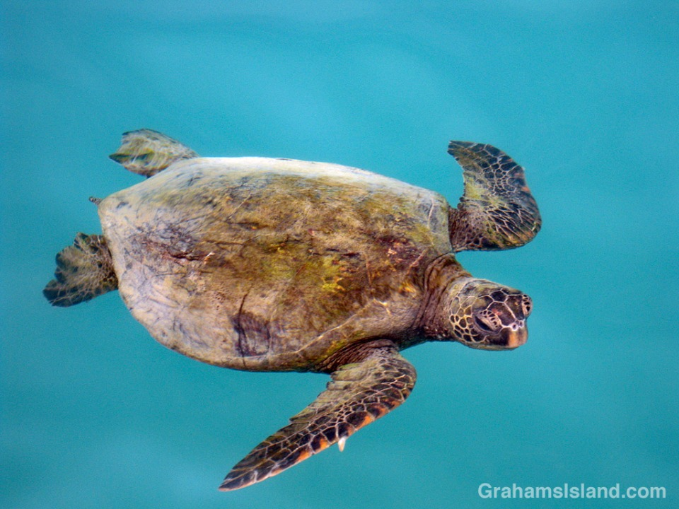 A green turtle swims in the waters of the Big Island of Hawaii.