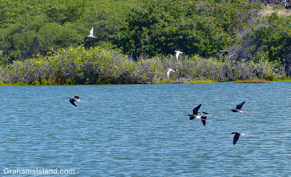 Hawaiian Stilts flying at Kaloko-Honokohau National Historical Park