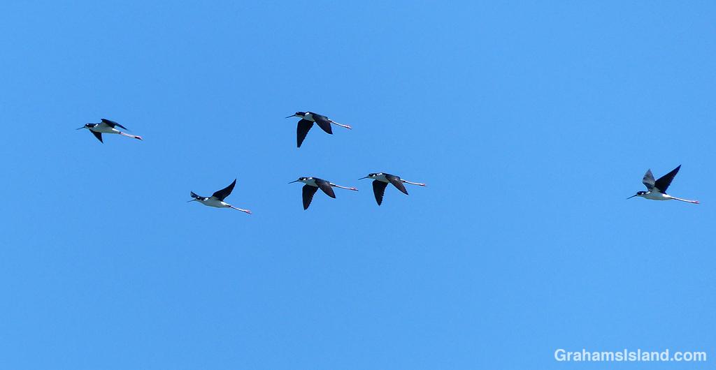 Hawaiian Stilts flying at Kaloko-Honokohau National Historical Park