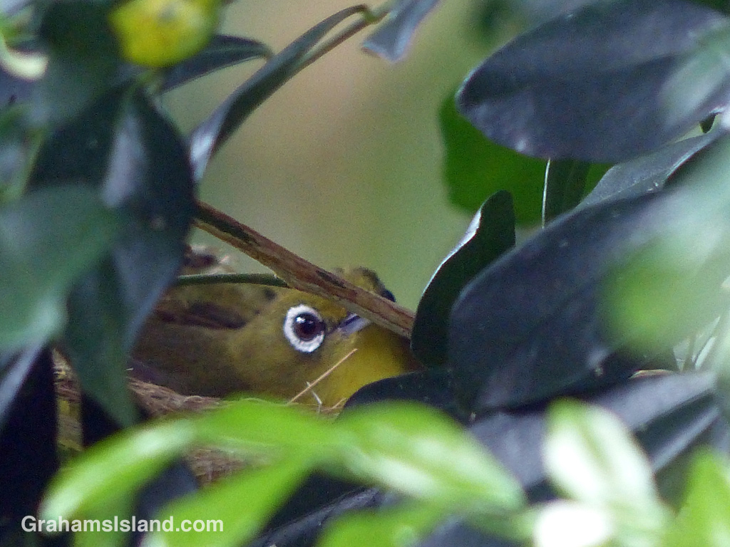 A peek of a Japanese white-eye sitting on a clutch of eggs in its nest.