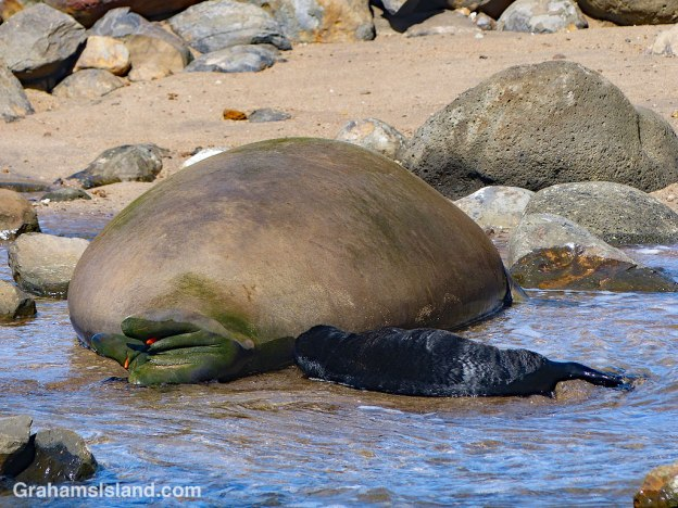 A Hawaiian monk seal and her pup.