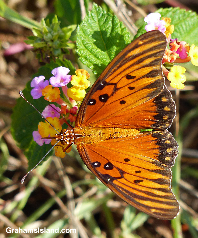 A passion vine butterfly foraging on lantana flowers.