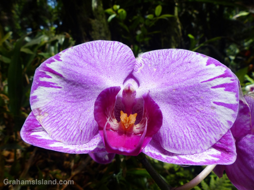 A Phalaenopsis Minho Princess orchid at the Hawaii Tropical Botanical Garden