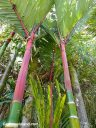 This stand of red bamboo was at Pana'ewa Rainforest Zoo.
