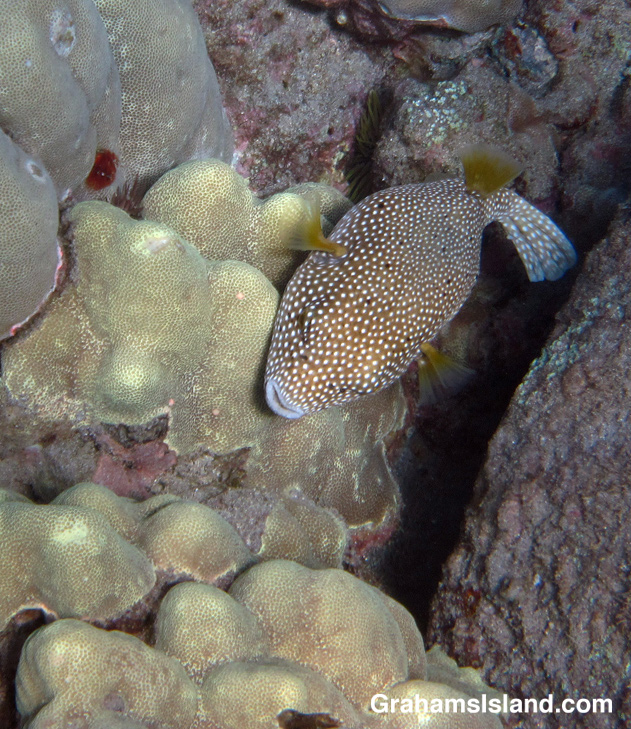 A spotted pufferfish in the waters off the Big Island of Hawaii
