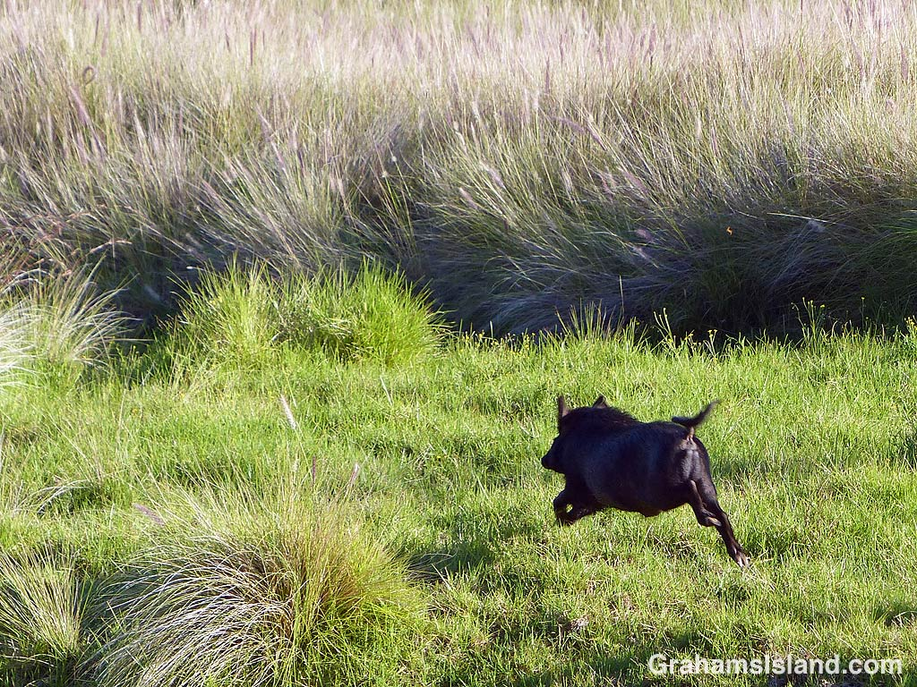 A wild pig runs off at Pu'u Wa'awa'a on the Big Island of Hawaii