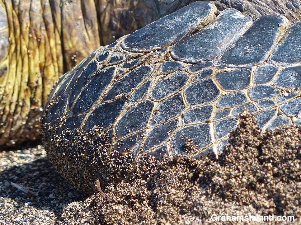 The flipper of a Hawaiian green turtle.